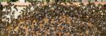 Bienen (CC-BY-SA Waugsberg)